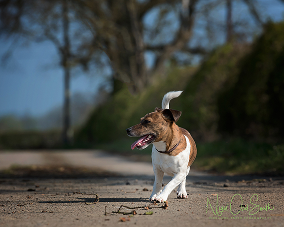 jack Russell photography