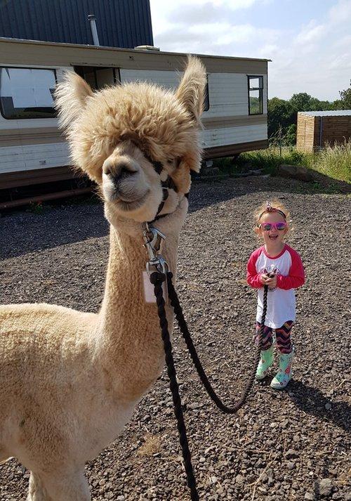 leicestershire alpaca walk