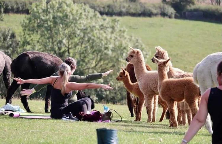 alpaca yoga leicester