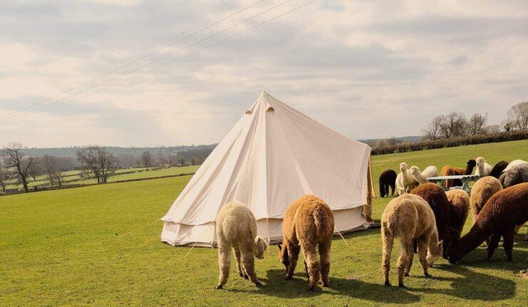 grange farm alpacas
